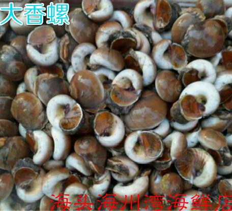 连云港海鲜水产鲜活水产香螺大香螺新鲜香螺扁香螺香螺肉250g