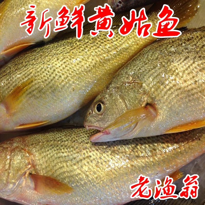 舟山新鲜海钓黄姑鱼 黄婆鸡 每条6两-1斤